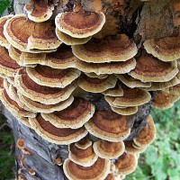Tree Fungus Cape Breton