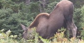 Moose Bent Down