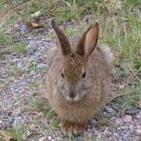 Cape Breton Rabbit