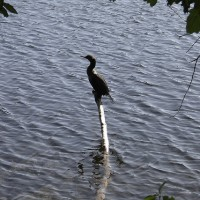 Cape Breton Cormorant
