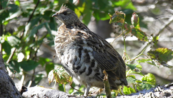 Spruce Grouse. Photo credit - Bob Harrison. 1st place tie - Fauna